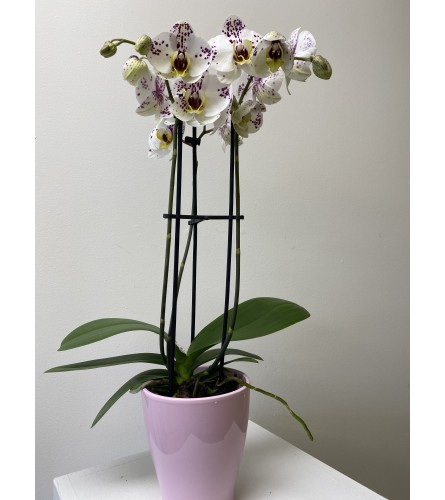 Orchid plant in ceramic pot. *color of orchid may have to be subs