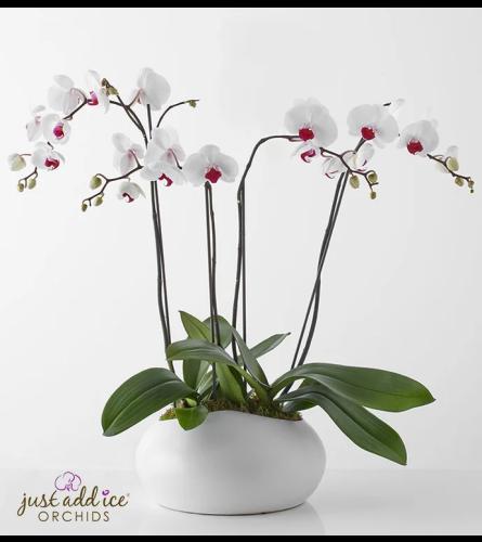 White Elegancia Orchids in Ceramic