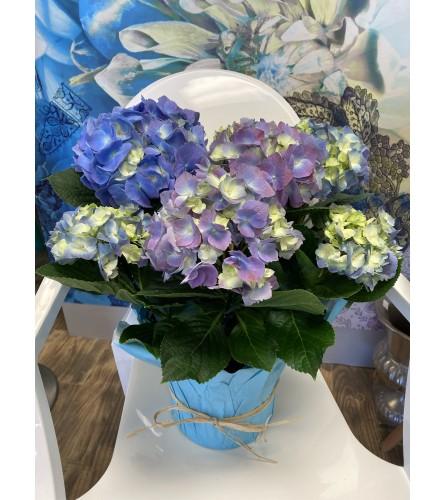 "8"" Hydrangea Plant"