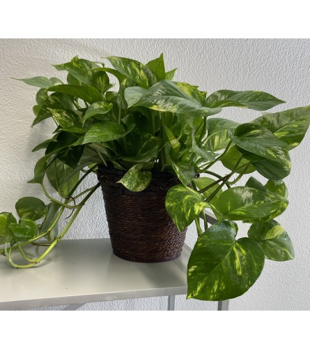 Beautiful Pothos Plant