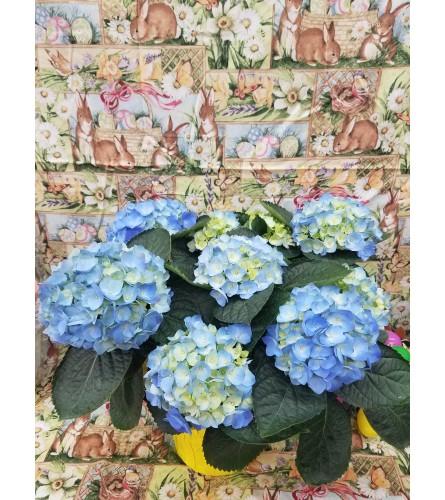 Blooming Blue  Hydrangea