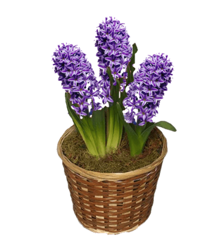 Spring Hyacinth Plant