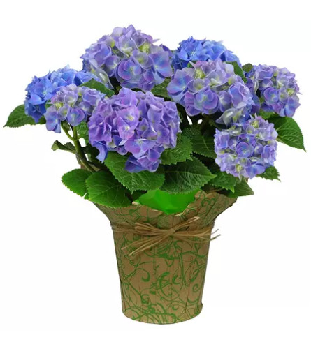 Blooming Spring Hydrangea Plant