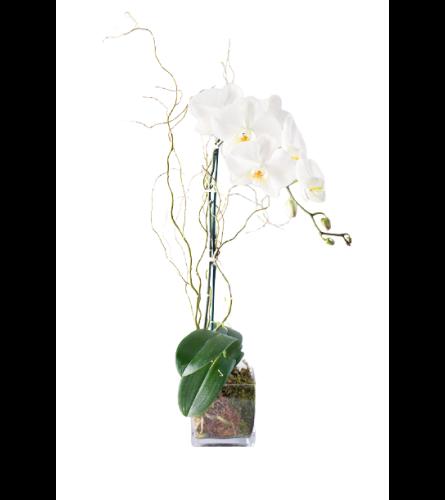 Single Stem Phalaenopsis Plant