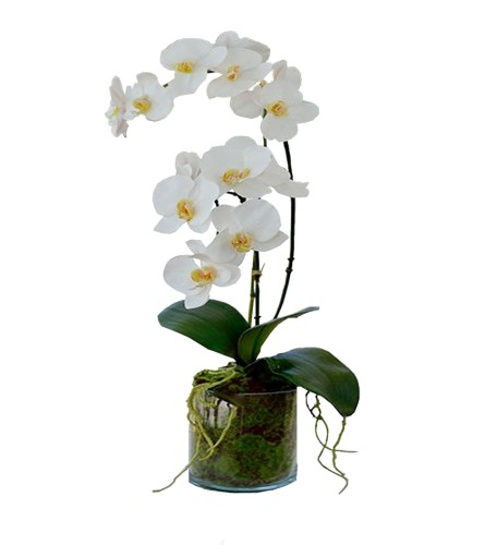 Double Stem Phalaenopsis Orchid Plant
