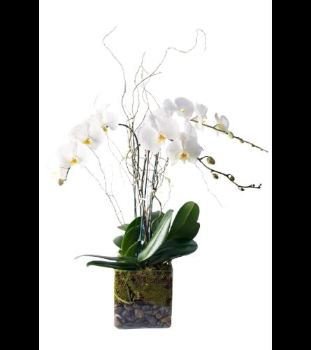 Phalaenopsis Plant Trio