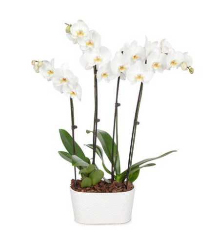 4 Stemmed White Orchid Plant