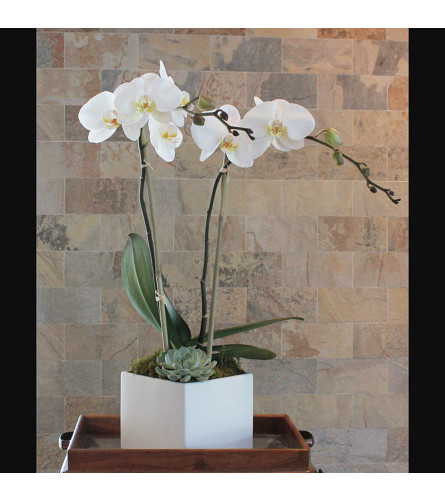Double Stem Orchid with Succulent