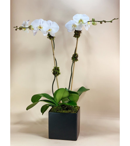 Double Stem White Orchid in a Black Cube