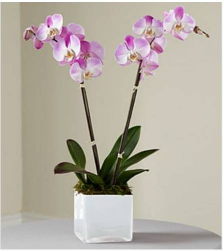 Purple Double Stem Orchid