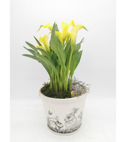 Spring Calla Lily Pot