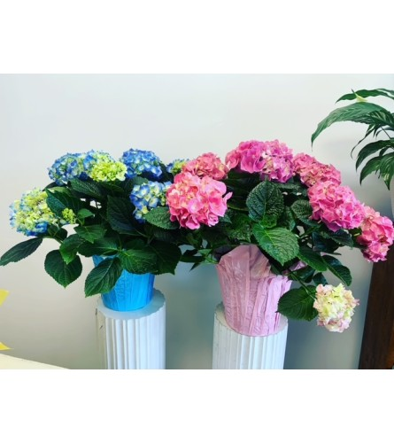 """Extra Large 10"""" Hydrangea Plant (Pink or Blue)"""