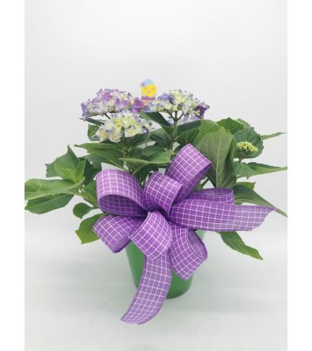 Happy Hydrangea Pot