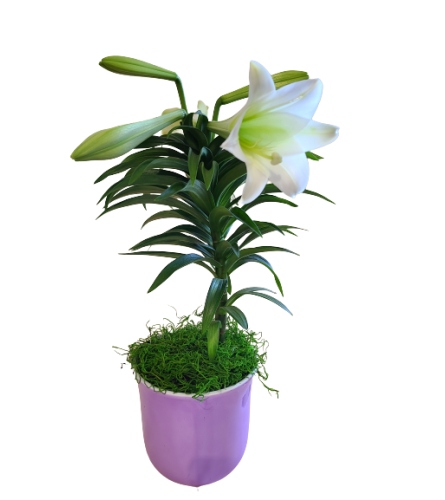 Graceful Easter Lily