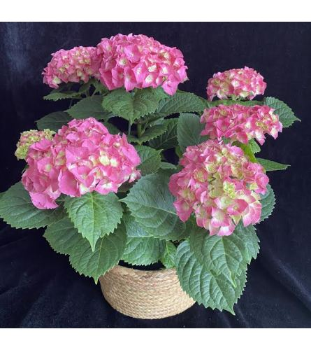 Pink Hydrangea plant1