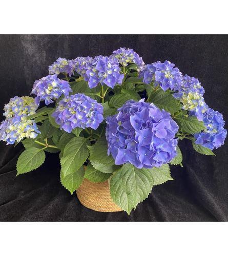 Blue Hydrangea plant1