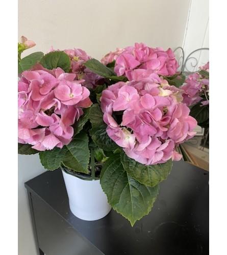 Pink Hydrangea Planter