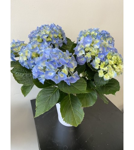 Beautiful  Sky Blue Hydrangea Plant