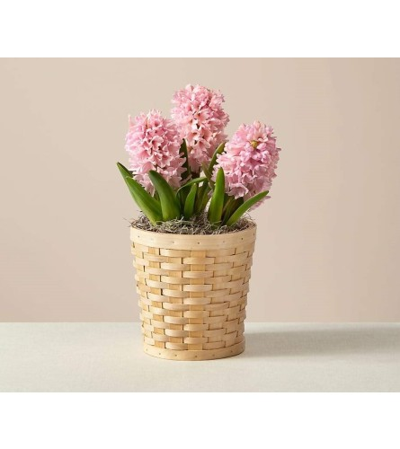 Hyacinth Potted Plant