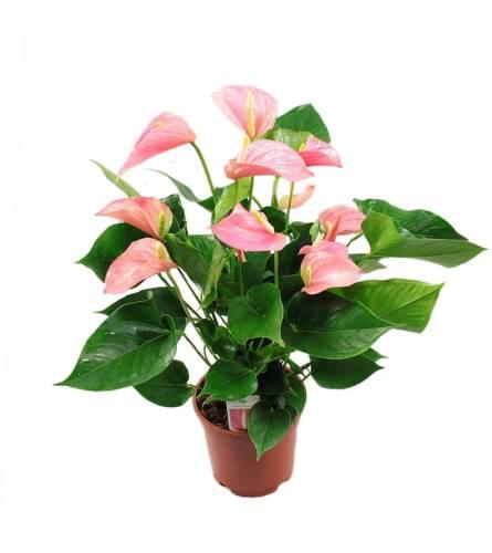 Pink Pleasure Anthurium Plant