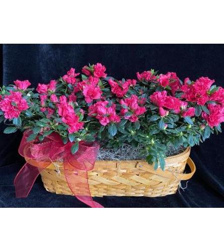 Double azalea basket2