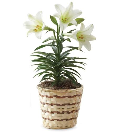Easter Lily Plant in Wicker Basket