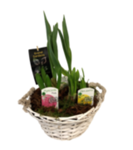spring Bulbs in wicker basket