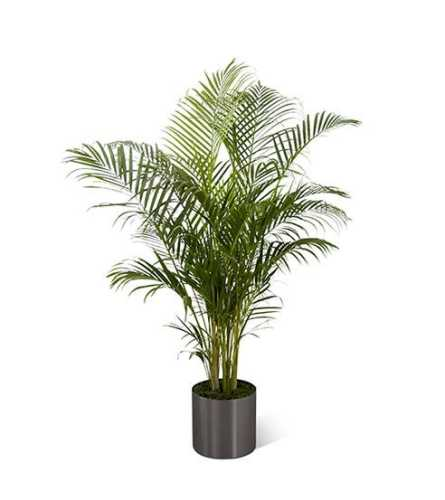 Natural Palm Plant(3 Foot Tall)