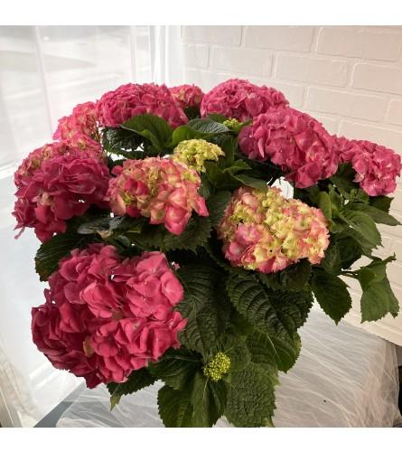 """10"""" Hydrangea in Pink"""