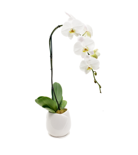 Amazing Orchid White