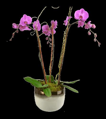 Vivid Triple Orchid