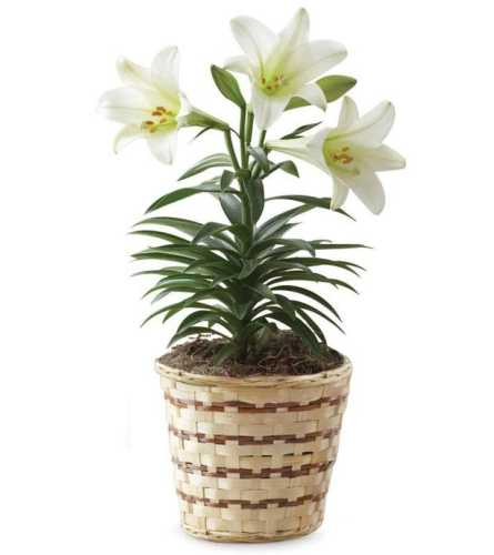 Easter Lily Plant Peace