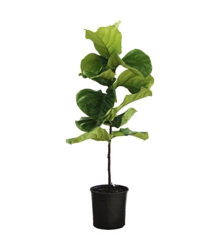 "42""Tall  Fiddle Leaf Ficus"
