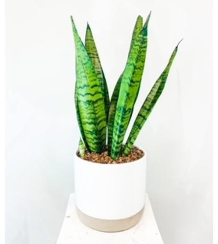 Sanseviera Snake Plant in Designer Vase