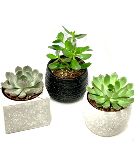 Set of 3 Succulents