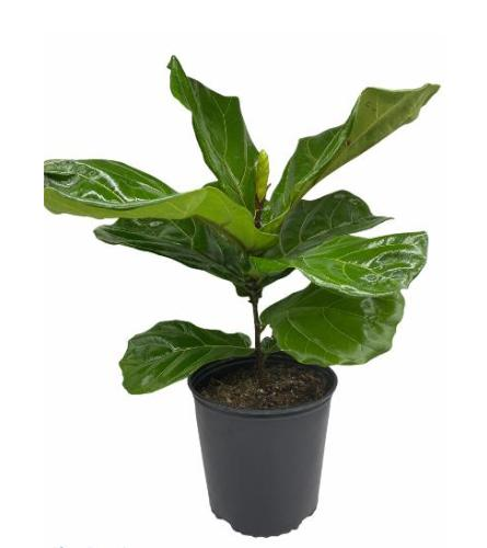 """Small Fiddle Leaf Ficus 27"""" Tall.Have a question?(718)748-3733"""