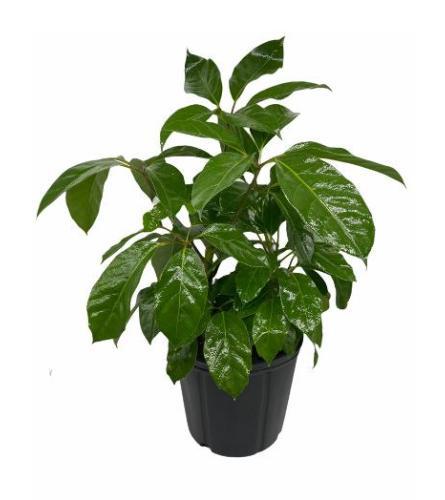 Air Purifying Schefflera  Umbrella Plant