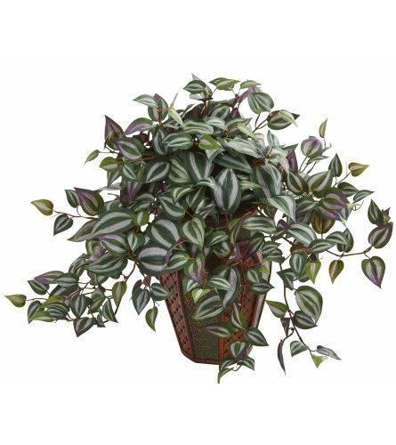 Wandering Jew Plant - Inch Plant