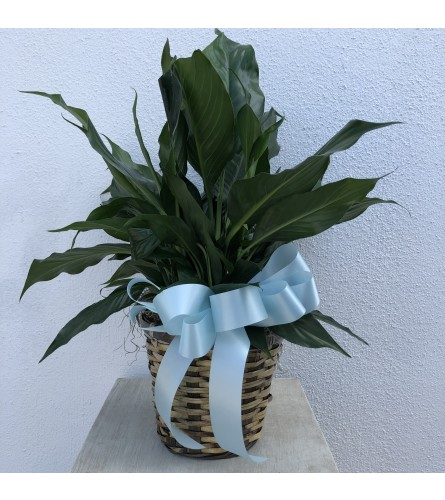 Soothing Peace Lily Plant
