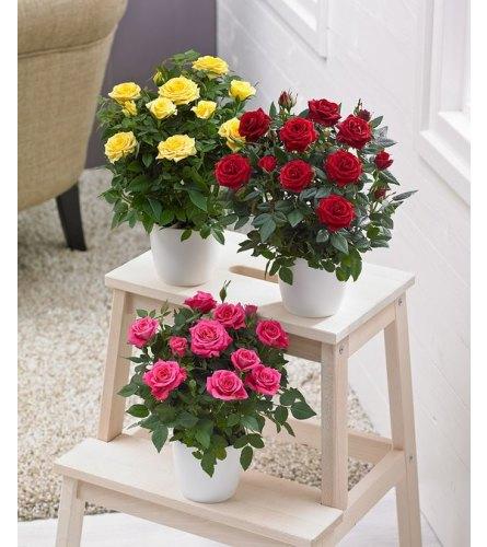 """6"""" Blooming Miniature Rose"""