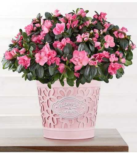 "Budding 6"" Pink Azalea"