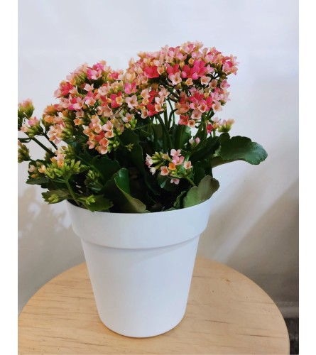 Kala Plant