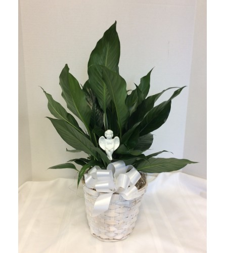 Peace Lily Plant in Basket with Angel Pick