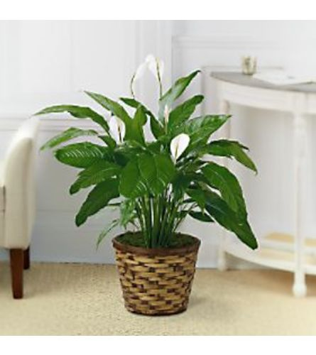 FTD® Peace Lilly Plant