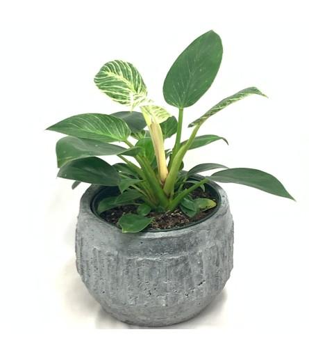 Birkin Plant