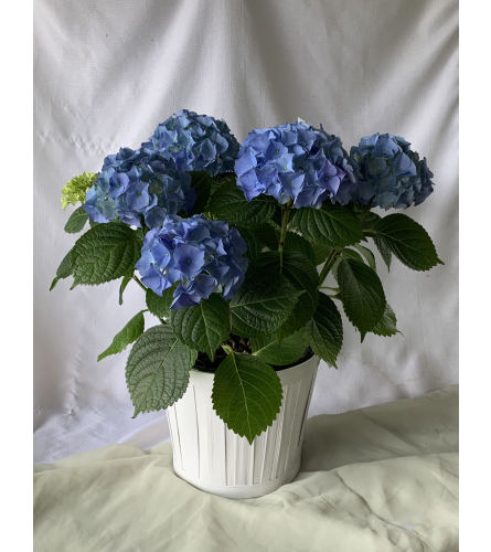 Basket Hydrangea Plant