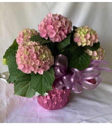 Foiled Hydrangea Plant