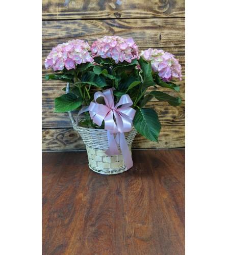 Hydrangea Planter