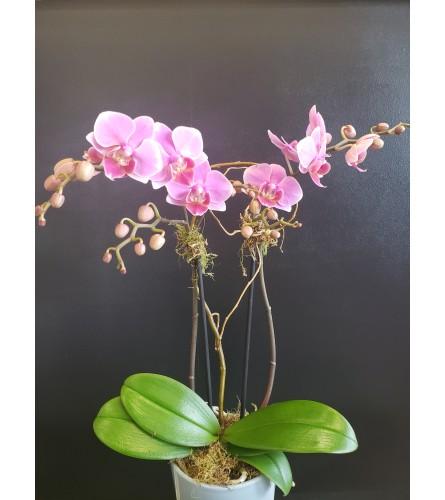 Elegant Orchid Planter in Ceramic Container