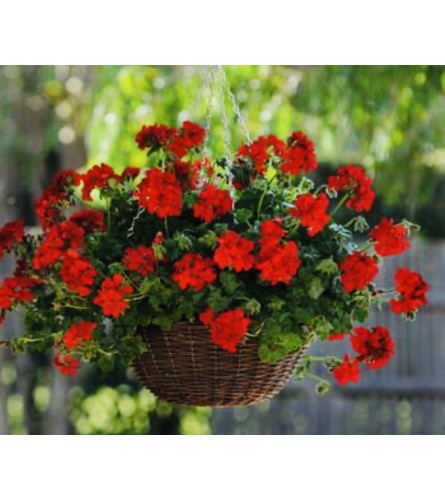 Geranium Hanging Baskets numerous sizes